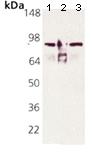 Western blot - Anti-Hsp90 alpha antibody [9D2] (HRP) (ab115649)