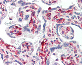 Immunohistochemistry (Formalin/PFA-fixed paraffin-embedded sections) - Anti-SIRT2 antibody (ab115681)