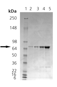 SDS-PAGE - Calnexin - ER membrane marker protein (ab115706)