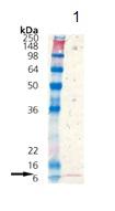 Western blot - Thioredoxin / TRX protein (ab115709)