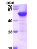 SDS-PAGE - TUBG1 protein (ab115710)