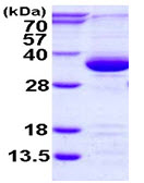 SDS-PAGE - PSME3 protein (ab115714)