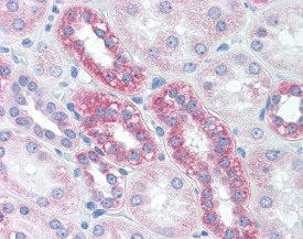 Immunohistochemistry (Formalin/PFA-fixed paraffin-embedded sections) - Anti-TOMM20 antibody [4F3] (ab115746)