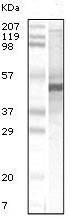 Western blot - Anti-Apolipoprotein A V antibody [2G1H11, 1F1E8] (ab115772)