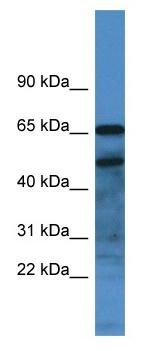 Western blot - Anti-Secretogranin 3 antibody (ab115773)