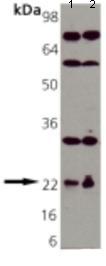 Western blot - Anti-RAP1A antibody (ab115776)