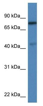 Western blot - Anti-USP10 antibody (ab115787)