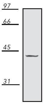 Western blot - Anti-EIF2S1 antibody (ab115822)