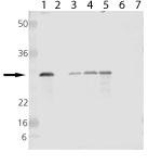 Western blot - Anti-Hsp27 antibody (ab115856)