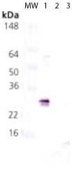Western blot - Anti-Hsp27 (phospho S78) antibody (ab115891)