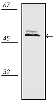 Western blot - Anti-JNK2 antibody (ab115924)