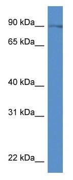 Western blot - Anti-SLC9A7 antibody (ab115927)