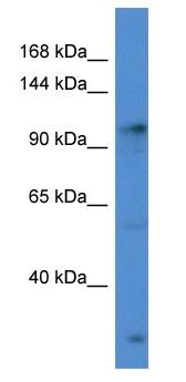 Western blot - Anti-GABA B Receptor 2 antibody (ab115929)