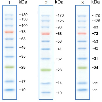 Protein Molecular Weight Markers 10 180 Kda
