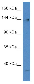 Western blot - Anti-DNA Polymerase gamma antibody (ab116049)