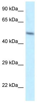 Western blot - Anti-ZFP2 antibody (ab116051)