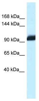 Western blot - Anti-ZHX1 antibody (ab116055)
