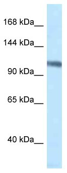 Western blot - Anti-MCM4 antibody (ab116062)