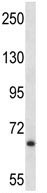 Western blot - Anti-Junctophilin-2 antibody (ab116136)