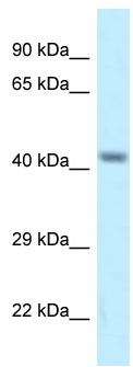 Western blot - Anti-CACNG8 antibody (ab116142)