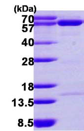 SDS-PAGE - NT5C2 protein (His tag) (ab116147)