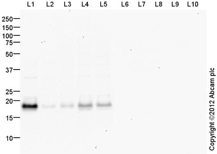 Western blot - Anti-Claudin 3 antibody (ab116165)