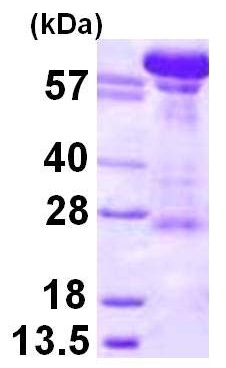 SDS-PAGE - NTF97/Importin beta protein (ab116172)
