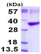 SDS-PAGE - Tropomyosin 3 protein (ab116189)