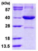 SDS-PAGE - Serine racemase protein (ab116196)