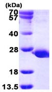 SDS-PAGE - PTPMT1 protein (ab116204)
