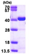 SDS-PAGE - CrkL protein (ab116208)