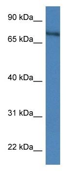 Western blot - Anti-XPNPEP2 antibody (ab116210)