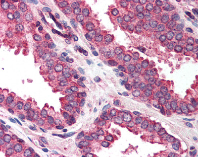 Immunohistochemistry (Formalin/PFA-fixed paraffin-embedded sections) - Anti-DAD1 antibody (ab116226)