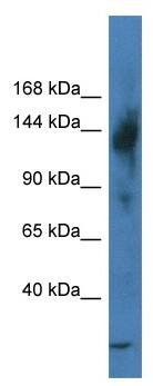 Western blot - Anti-TReP132 antibody (ab116240)