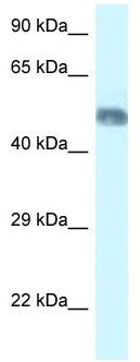 Western blot - Anti-WDR8 antibody (ab116245)