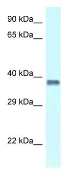 Western blot - Anti-PURA antibody (ab116267)