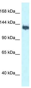 Western blot - Anti-BAT3 antibody (ab116325)