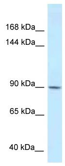 Western blot - Anti-Dact1 / Dapper homolog 1 antibody (ab116342)
