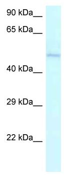 Western blot - Anti-AMBN antibody (ab116347)