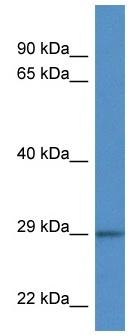 Western blot - Anti-Junctional Adhesion Molecule 1 antibody (ab116354)
