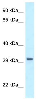 Western blot - Anti-PEX19 antibody (ab116358)