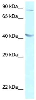 Western blot - Anti-GALR2 antibody (ab116359)