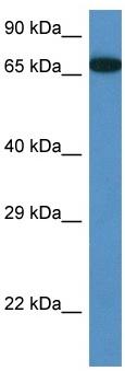 Western blot - MBTD1 antibody (ab116361)