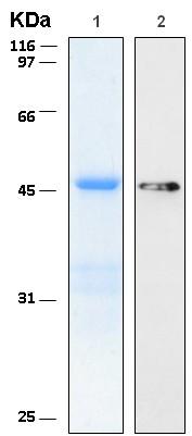 Western blot - Rab2 protein (ab116399)