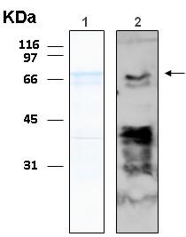 Western blot - TRF1 protein (ab116406)