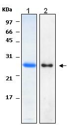 Western blot - HN1 protein (ab116438)