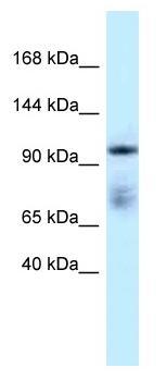 Western blot - Anti-MICAL1 antibody (ab116458)