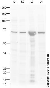 Western blot - Anti-KLC2 antibody (ab116702)