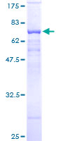 SDS-PAGE - PSG9 protein (ab116750)