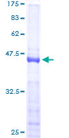 SDS-PAGE - NHLH1 protein (ab117028)